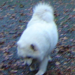 Lost dog on 30 Nov 0012 in Old Birr-Nenagh Rd.Tipp.. Samoyed Husky, white,