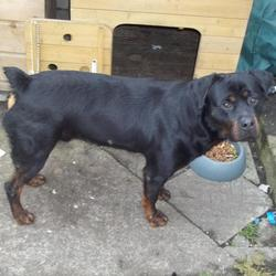 Lost dog on 08 Dec 2012 in cabra dublin 7. male 2year old rottweiler name is tyson got out early saturday morning in the cabra area any info please ring 0833000165.has no collar on him as i only put it on when walking him