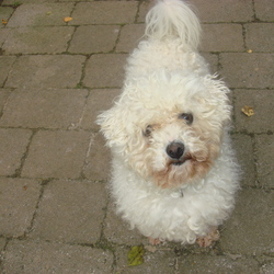 Lost dog on 18 Dec 2012 in Tullamore, 3  Deerpark. Bisson frize, male, 3 years old has disappeared from garden when was nobody at home. 1 neighbor could not sleep at times as was barking. That was his only sin... High reward.. 0863172177 krisztike03@walla.com Deerpark, Tullamore