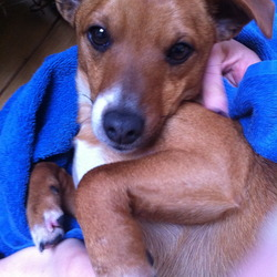 Found dog on 02 Jan 2013 in Santry, Dublin 9. Small male brown dog, mixed breed. White paws and tiny white patch on back of his neck. Pointy ears, long tail. Timid, good natured. Found close to Omni Park Shopping Centre in Santry, no collar.