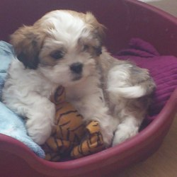 Lost dog on 08 Jan 2013 in whitehall dublin 9. 9month old kingcharles/chih tzu