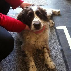 Found dog on 31 Jan 2013 in Sutton, Dublin 13. . Springer Spaniel male found today at Sutton cross, Dublin 13.  Neutered, friendly, about 4yrs old. Long coat. No collar or microchip. If anybody knows this dog please call Mick on 087 9668390.