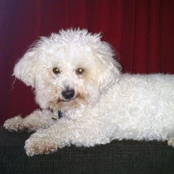 Lost dog on 31 Jan 2013 in 43 the weir castlecomer road kilkenny. Bichon frise with black coller. Very friendly. Was lost at about 5.30 today.