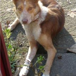 Lost dog on 24 Feb 2009 in Kiltegan, Co. Wicklow. Missing from home in Kiltegan,Co.Wicklow (near Baltinglass) Brown and white collie type, slim build with distinctive yellowy  eyes.Had collar & ID tag on. Friendly.087 2199126. REWARD