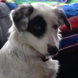 Lost dog on 18 Feb 2013 in Balgriffin, Dublin - Castlemoyne, Belmayne, St. Samsons. Breed: Border Collie (Sheep dog). Age: 9 months old. Personality: Extremely friendly, energetic. Sex: Female.