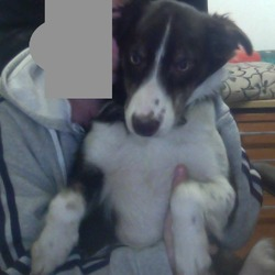 Found dog on 22 Feb 2013 in DUBLIN 8. BROWN AND WHITE BOARDER COLLIE PUP WITH BLUE/GREEN