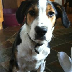 Lost dog on 21 Feb 2013 in Knocklyon. 1 year old Border Collie / Beagle mix. Tebow is very active and playful. He's a big dog (about 25-30kg) and has a bone around his collar. 