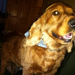 Lost dog on 07 Feb 2013 in Rathcoole. SUBSTANTIAL REWARD OFFERED FOR JESSIE'S SAFE RETURN