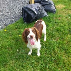 Lost dog on 02 Feb 2013 in Faughart Dundalk, Co. Louth. Our male Springer Spaniel was STOLEN on 02 Feb 2013 from Faughart, Dundalk, Co. Louth. Liver and white. Microchipped 0864006258