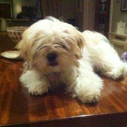 Lost dog on 01 Apr 2013 in lucan/clonee road. White female shih tzu missing  Please call 0877839805