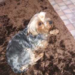 Lost dog on 18 Apr 2013 in Newport, Mayo . Missing , 11 year old Yorkshire terrier, missing since last week in the Newport, Mayo area. Reward offered if found.