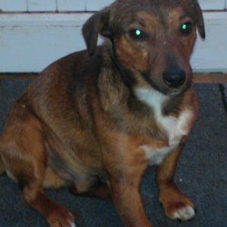 Lost dog on 18 May 2013 in Blessington Co. Wicklow. Lost near Blessington Co. Wicklow just close to N81 Miniature Jack Russell, male, mostly brown/tan with white front. Over 2 years old but looks like a puppy.