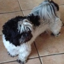 Found dog on 25 May 2013 in Finglas . Black and white male shih tzu.