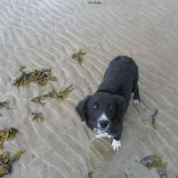 Lost dog on 29 May 2013 in Donabate. Sam was lost today Wednesday 29 May,in the Donabate 