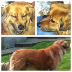 Lost dog on 31 May 2013 in Clongriffin / Belgriffin area . Molly