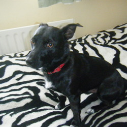 Lost dog on 06 Jul 2013 in Hazelwood avenue,Dublin 15. Lost a dog, terrier all black has a white chest,wearing red collar, he is not neutered, name torry,he was last seen in hartstown hazelwood avenue around 8 pm. Contact me: 0852043166, name: Edvinas