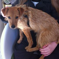 Lost dog on 10 Jul 2013 in Ballybrack, Co. Dublin. Very friendly light red/brown fox terrier. Went missing from Ballybrack village on evening of the 10h July.