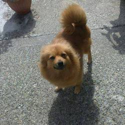 Lost dog on 06 Jul 2013 in in the Clondalkin area, Dublin 22. STILL MISSING AS OF 24th AUGUST: Small female Pomeranian near Corkagh Park, Clondalkin, Dublin 22. The dog is neutered and micro-chipped. Owner missing her terribly. Contact Clondalkin Animal Aid please on 0863148647