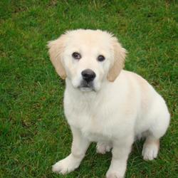 Lost dog on 15 Mar 2009 in Tipperary. Missing golden retriever , 6 months old female family pet. Carrig, Tipperary. Her name is Molley. Please if anyone has seen her give me a call on 0851471188 or e-mail rutti_pr@yahoo.com. She is really missed. When she was small, other dog atacked her, so