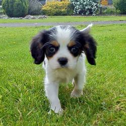 Lost dog on 13 Jul 2013 in Gorthaganny, Castlerea, Co. Roscommon. REWARD OFFERED FOR: Missing/Stolen 2 month old King Charles....He is black and white in colour with brown marks over his eyes and answers to the  name of 'Charlie'.  He went missing out of our front lawn last Saturday evening 13/7/2013. We  live in Tully, Carrowbehy, Castlerea, Co. Roscommon.  We are just devastated and very upset and would love to get him returned so any help  or sightings would be greatly appreciated. Please contact 0867922384