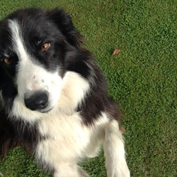 Found dog on 03 Aug 2013 in Ashbourne, Meath. Black and white collie found last night (August 3) in Ashbourne, co. Meath. Black collar, no tag, well trained and fed. Roughly 5 to 7 years old.
