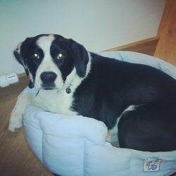Lost dog on 10 Aug 2013 in Tallaght. Black and White CollieX, wearing a pink collar, Shes microchipped. Shes 1 and a half. Missing from the Tallaght area along with a Jack RussellX  0851696008