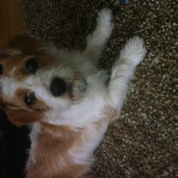 Lost dog on 27 Aug 2013 in Corbally, citywest . 27th august missing Medium sized dog white with brown patches shaggy coat. 1 year old cross breed mix of jack Russell King Charles lost since About 3 o clock today in citywest area, light blue collar, if found please contact Adrian  086 6089735 085 1469458