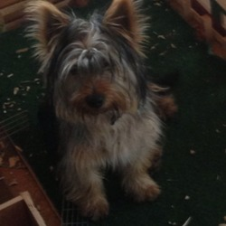 Lost dog on 29 Aug 2013 in Lisdowney, Ballyragget . Lost black and Tan Yorkshire terrier male about 10 months old, not neutered 0852123976