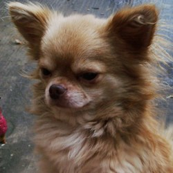 Lost dog on 26 Dec 0008 in Dublin. STOLEN!!! Chihuahua,Teddy,  4 1/2 yrs