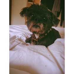 Lost dog on 23 Oct 2013 in Loughton, essex. Black Lhasa Apso, answers to Max. 13 years old, white patch on belly, black and white stripey collar with purple. no hair on curly tail