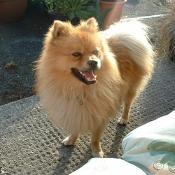 Lost dog on 21 Jan 2009 in County Kildare could be anywhere. Hector is a Pomeranian, lost since 21 Jan 09 but I'm still looking for him, he's larger than usual, with black around his mouth. 8 years old. Missing from Prosperous/Robertstown area but could be anywhere, he's a good looking fellow. Please call 086 88825