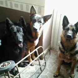 Lost dog on 29 Oct 2013 in Roscrea. Need money for Christmas? SUBSTANTIAL Reward  offered for  information to the finding of large Male Neutured German Shepherd  (2nd dog in picture) Call Micky 0833298117