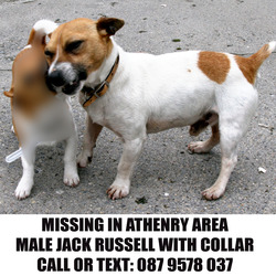 Lost dog on 20 Nov 2013 in Athenry. Small, male Jack Russell terrier with collar. Missing since 20th November in Athenry area. Call: 087 9578 037