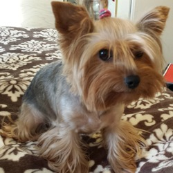 Lost dog on 07 Jan 2014 in Maynooth Co Kildare. addorable family pet 2 year old yorkie bitch black and tan called boney went missing on 07/01/14  in the Maynooth  area of Co Kildare. she is very playful and a happy dog.  She has micro chip . PLEASE call if have any info . Cash REWADS!!!