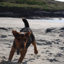 Lost dog on 17 Jan 2014 in Kerry Pike/Clogheen area, Cork . Rafferty a 3-4 year old Lakeland terrier mix male, black and tan markings is missing