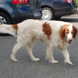 Lost dog on 30 Jan 2014 in CLONDALKIN. IRISH SETTER MISSING