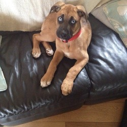 Lost dog on 08 Feb 2014 in Kilmacanogue Wicklow . Pls help us find Ellie, went missing today from rocky valley drive kilmacanogue Wicklow, desperate to find her. Boxer n German Shepard mix only a puppy 5 months old distinctive blue eyes 0872050021