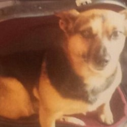 Lost dog on 02 Mar 2014 in Bray, Co. Wicklow. Please help! Our beloved dog, Shelley, who we've had for ten years went roaming this morning at 8.30am with our other dog, but Shell never managed to make it home. She is a small black and tan Jack Russell cross who looks similar to a mini Alsatian. She went missing up in Palermo, near the graveyard in Little Bray. If you have any details please please contact me on 087-0555014. Thanks.