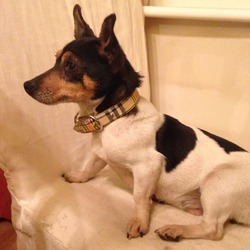 Found dog on 25 Mar 2014 in Kimmage, Dublin 12. Female Miniature Jack Russell. Tartan collar, dog nervous so unable to check collar.
