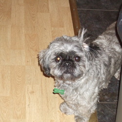 Lost dog on 13 Mar 2009 in Cork City. Jack is our family pet and missed by two little girls.  He is a neutured black/grey shihtzu.  He is missing from The Glen/Military Hill in Cork.  Reward Offered.  Phone 0872926433