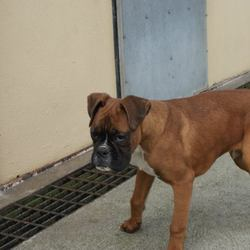 Found dog on 09 Apr 2014 in cavan. Boxer Pup, male, picked up at Mountnugent. phone Aidan Woods in the Cavan Dog Pound, Legland, Crossdoney, Co. Cavan � 049 433 75 45