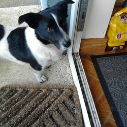 Found dog on 01 Apr 2014 in Gorey, Wexford. Small Terrier Cross Black and White, long curly tail. Found outside Gorey. Contact 085-8266325 if you recognise this dog.