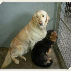 Found dog on 09 Apr 2014 in mullingar. Breed: Labrador