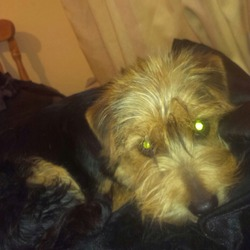 Lost dog on 14 Apr 2014 in Rathasker Road, Naas Co.Kildare. 1 year old Yorkshire Terrier. Typical Yorkshire terrier look. His face is brown while his body is black and brown. Long black tail. Head is proportionally big compared to his body. Very friendly dog answers to the name of