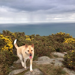 Lost dog on 14 Apr 2014 in Coundon court, Killiney, dublin. Golden/ white mixed breed dog lost in killiney avenue, co dublin since 14/4/2014