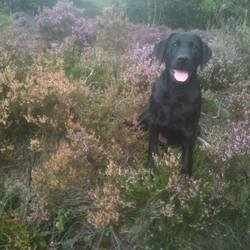 Lost dog on 12 Apr 2014 in antrim. STOLEN.....Taken from the Ballybracken Road in Doagh Co Antrim at approx 18:00 on Saturday the 12th