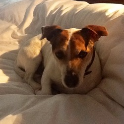 Lost dog on 16 Apr 2014 in Dartry Dublin 6. Lovely Jack Russell,