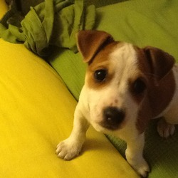 Lost dog on 30 Apr 2014 in Rathmines. 4 month old female Jack Russell brown and white with dots on back. wearing blue collar with cupcakes on it.Missing 30/04/14, rathmines, dublin...0851106409