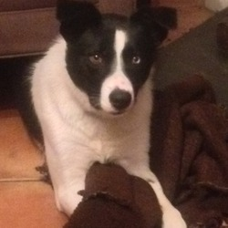 Found dog on 18 May 2014 in Radestown/Ballyfoyle Kilkenny . FOUND! Woof! Woof! Black & white border collie, 1 year old male with one blue and one brown eye, microchipped, missing from Radestown/Ballyfoyle/Kilkenny area since 7pm Sunday evening 18 May, probably in company with chocolate brown Labrador.  Adored family pet.