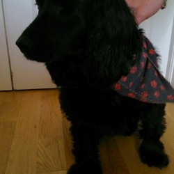 Found dog on 18 May 2014 in Lucan Desmesne. FOUND in Lucan Desmesne. Old dog, nearly blind. Her left eye is gone and her right eye has severe glaucoma.   Wearing a black bandanna with red dog footprints on it. No collar and not chipped. Found on Sunday evening at 7.30 18th May 2014 in the river just inside the Lucan entrance.  Was fed, watered, warmed up and looked after in Lucan and is currently being looked after by Lucan Vetinerary Hospital, Chapel Hill, Lucan. Phone: 01 6282840. Ask for Alison.